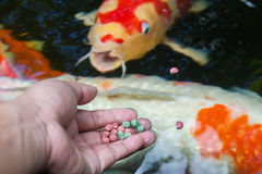 Feeding koi by hand Stock Photos