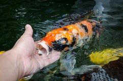 Feeding koi by hand Stock Photos