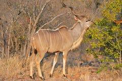 Feeding Kudu antelope Royalty Free Stock Images