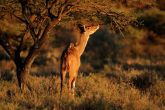 Feeding kudu antelope Stock Photography