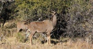 Feeding kudu antelopes stock video