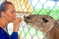 Feeding lama Royalty Free Stock Photography