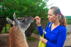 Feeding lama Stock Photos