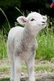 Feeding lamb Royalty Free Stock Images