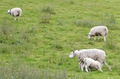 Feeding Lamb Royalty Free Stock Photos