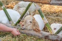 Feeding lamb. Stock Image