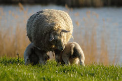 Feeding lambs Royalty Free Stock Photography