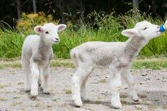 Feeding lambs Royalty Free Stock Photos