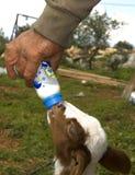 Feeding Lambs Stock Images