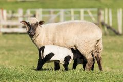Feeding Lambs. Black face New Zealand sheep feed her black lambs royalty free stock photography