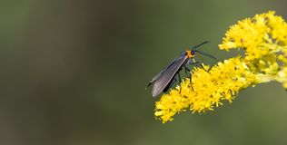 Scape Moth Feeding on a Late Summer Golden Rod Wild Flower. Feeding on a late summer golden rod flower is a small scape moth with its black velvet wings and stock image