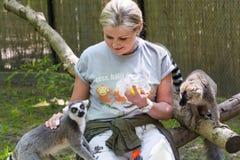 Feeding lemurs Stock Image