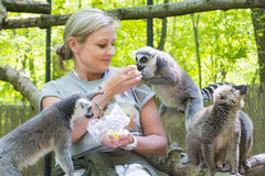 Feeding lemurs royalty free stock photography