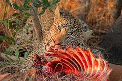 Feeding leopard Royalty Free Stock Images