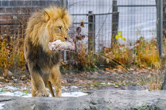 Feeding Lion Stock Photography