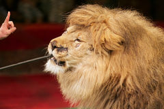 Feeding the lion. At the circus Stock Photo