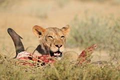Feeding lioness Stock Image