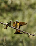 Feeding Little Bee-eaters Stock Photo