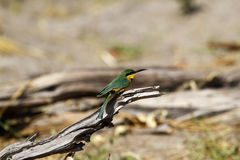 Gorgeous Little Bee-eater Stock Photos