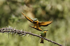 Feeding Little Bee-eaters II Stock Photography