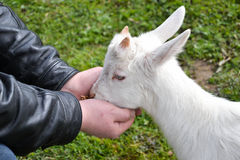 Feeding little goat. A human ir feeding a little goat from hands Royalty Free Stock Image