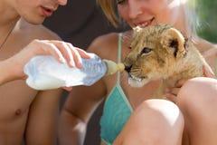 Feeding little lion cub with milk Royalty Free Stock Photo