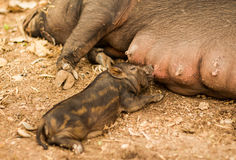 Feeding little pig Stock Photos