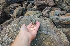 Free Feeding Lizard From Hand Royalty Free Stock Photos - 120174088