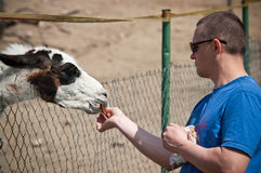Feeding a Llama Stock Photos