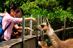 Feeding a llama. Two young Chinese women feeding a llama at the shanghai wild animal park in springtime in shanghai China royalty free stock images