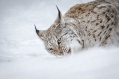 Feeding lynx Royalty Free Stock Photos
