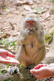 Feeding Macaque monkey in Thailand. Macaque monkey in widelife, Thailand Stock Photo