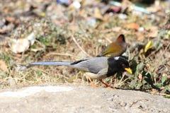 A feeding Magpie Stock Photos