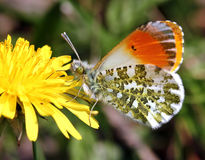 Feeding Male Orange Tip Stock Photography