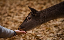 Feeding a mammal. Lovely moment of a man who's feeding a mammal in the nature from his hand Stock Photography