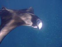 Feeding manta ray, Maldives Stock Photos