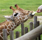 Feeding me. Baby giraffe being feed at the zoo Stock Photography