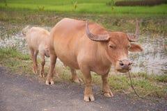 Feeding milk albino buffalo Royalty Free Stock Photos