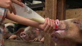 Feeding milk to hungry pigs stock video footage