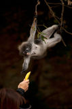 Feeding the monkey ( Presbytis obscura reid ). Royalty Free Stock Image