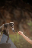 Feeding the monkey ( Presbytis obscura reid ). Stock Photos