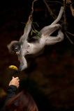 Feeding the monkey ( Presbytis obscura reid ). Royalty Free Stock Photos
