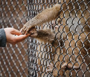 Feeding monkeys. What not to do in a zoo??...feeding the animals stock image