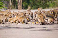 Feeding the monkeys. Royalty Free Stock Image