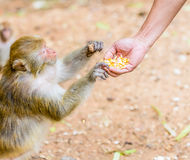 Feeding the monkeys. Royalty Free Stock Photo