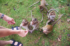Feeding monkeys; Stock Photography