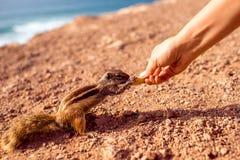 Feeding moorish squirrel Royalty Free Stock Image