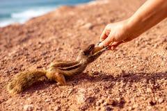 Feeding moorish squirrel Stock Image