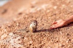 Feeding moorish squirrel Stock Photo