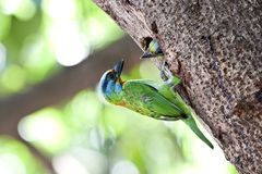 Feeding Muller's Barbet Stock Image